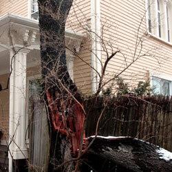 Chokeberry Tree fell
